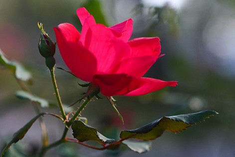Protect your home with thorny bushes like beautiful roses!